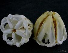 seeigel sea urchin - kiefer kauapparat laterne des aristoteles