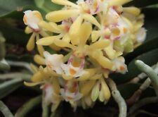 Gastrochilus obliquus 2 Inch Pot Bloom Size Species Orchid Plant Division