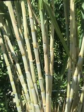 10 Cutings Organic Fresh Green Sugarcane Cuttings Sugar Cane Plants