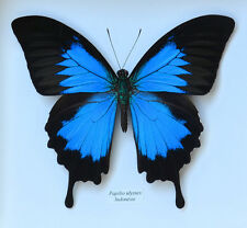 Entomologie Papillon Insecte Superbe Papilio ulysses Male A1!(Non Etalé)