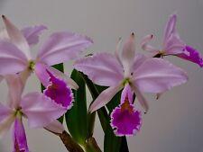 Cattleya Species ´Sky Flame´ 4N Selection Orchidee Orchideen