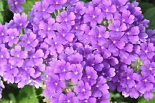 200 Seeds Veined Verbana Verbena Vervain Moujean tea Purpletop Blue Flower Seeds