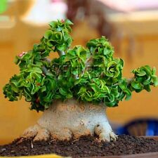 Bonsai Seeds Desert Rose Indoor Plant Flower Mini Potted Home Garden Decorations