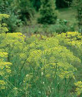 DILL SEED, MAMMOTH LONG ISLAND, HEIRLOOM, ORGANIC, NON GMO, 25+ SEEDS, SPICE