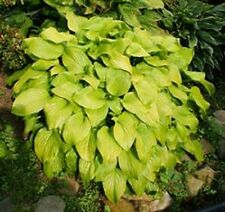 Hosta Fried Bananas Plant 2 Year Old Buy Spring Shipping
