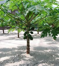 10 Fresh Thai Dwarf Papaya Seeds,CARICA PAPAYA Miniature Pawpaw,New Hybrid
