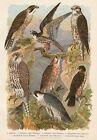 Vögel Jagdfalke Würgfalke Wanderfalke - Alter Farbdruck 1923 - Bild Druck Print
