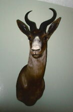 African Black Springbok Taxidermy Mount -Gorgeous!