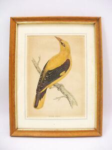 Antique 1860-70 Golden Oriole Bird Etching Print by Rev. Morris