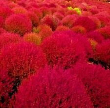 100+ Rare Burning Bush Seeds Cold Hardy Color Grass Ornamental Drought Hedge Usa