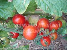 SWEETY tomates grappes Tomate 10 Samen toutes sortes très rare Tomates samenfest