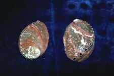"TWO (2) RUSSIAN ABALONE HALIOTIS KAMTSCHATKANA SEA SHELLS 3-1/2"" to 4"" LONG"