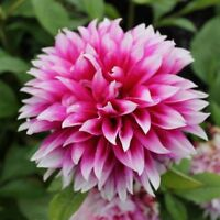 100PCS Multi-Colored Dahlia Seed Beautiful Gardens Dahlia Flower Perennial Plant
