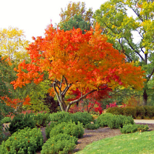 Acer pensylvanicum (Snake Bark Maple) - 10 Tree Seeds | Outdoor Garden Bonsai UK