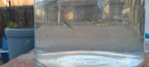 10 Live Rainbow trout fingerling (.75-1in)-Free Shipping