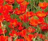 CALIFORNIA POPPY RED CHIEF Eschscholzia Californica - 1,000 Seeds