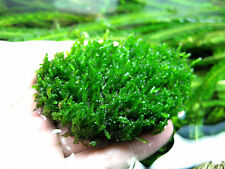 2x Flame Moss Stone Pad - Live Aquarium Water Plants Shrimp Fish Tank