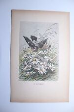 """Ancienne gravure oiseau """" le Bouvreuil """"  par J.Huyot et H. Giacomelli 1897"""