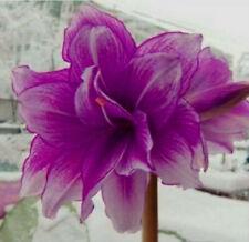 Amaryllis Bulbs Perennial Resistant Festival Gifts Plant Flowering Purple Bonsai