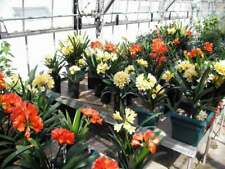 10Pcs Clivia Flower Seeds 6 Colors Lily Perennial Bonsai Home Plant Bush Fragran
