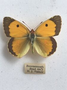 A Colias Clouded Yellow British Butterfly Specimen H J Turner 1947