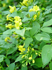 Yellow Yasmine, JASMINUM HUMILE, Summer flowering shrub, patio plant, bonsai