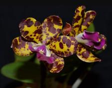 Orquídea Cattleya LC. selva ojos fragante tamaño casi Bloom