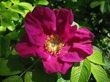 6 graines ROSIER DU JAPON ROUGE (Rosa Rugosa Rubra)V671 SEEDS SAMEN SEMILLA SEMI