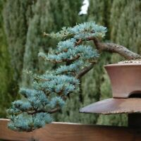Blue Spruce Bonsai Tree Seeds for Planting | 50 Seeds | Popular Coniferous Tree
