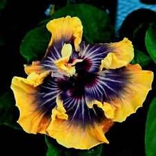 Hibiscus 🌺BUTTERFLY Seeds Dinnerplate Flowers Perennial Tropical Dark Blue Eyes