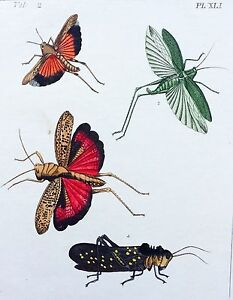 VERY RARE 1773 DRURY Vol.2 GRASSHOPPERS L@@K Pl#41 HandColored Copper Plate XLI