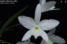Catt. Walkeriana X Laelia Rubescens Nbs Orchid Plant Remake