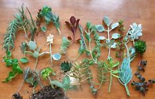 30 Mixed Succulent plants and cuttings