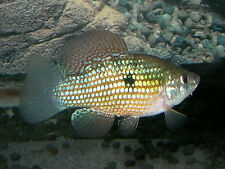 American Flagfish (Jordanella floridae) ** Temperate Freshwater Fish **