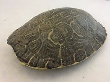 Real Turtle Shell - 8 - 9 inch Long - River Cooter (King) - Carapace Taxidermy