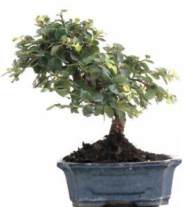 Bonsai - Cotoneaster spec., Zwergmispel   205/01