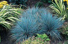 BLUE FESCUE SEEDS FESTUCA GLAUCA ORNAMENTAL GRASS POT PATIO GARDEN 300 SEED PACK