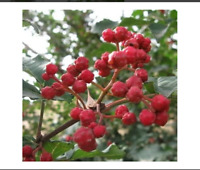 Chinese Sichuan Pepper Tree Seeds (Zanthoxylum bungeanum) 15+Seeds