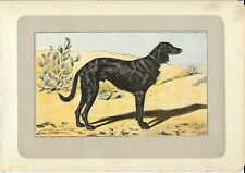 Stampa antica CANE LEVRIERO PERSIANO GREYHOUND 1907 Old antique print dogs