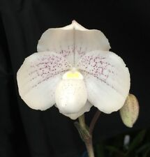 """New listing Paphiopedilum Greyii, Miniature Lady Slipper Orchid Plant, Shipped In 3"""" Pot"""