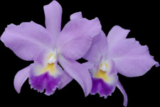 "C. Portia 4N; Young plant in 4"" pot; Primary hybrid (bowringiana x labiata)"