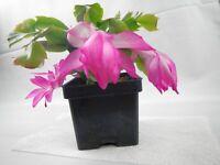 Thanksgiving Cactus THOR TINA Schlumbergera truncata 2 Year Old Plant bare root
