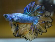 <Have video> BETTA FISH BLUE MUSTARD GAS KING FEATHER TAIL HALF MOON (HM) MALE