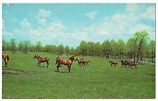 HORSES Frolicking in Blue Grass of  Lexington KENTUCKY Postcard Vintage KY