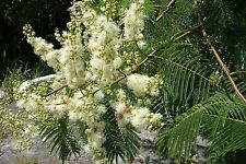 15 SEEDS Vilca Curupau Anadenenthera colubrina seeds