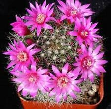 ROSE PINCUSHION Mammillaria zielmanniana pink flowers cactus plant in 70mm pot