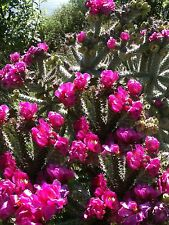 WINTER HARDY OPUNTIA SHRUB CACTUS BEAUTIFUL VIOLET PURPLE FLOWERS 2 CUTTINGS!!!