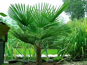 Hardy Chinese Windmill Palm Tree Tropical Garden Outdoor Evergreen