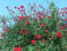 "Cardinal Climber 40 Seeds Spectacular Bright Red Trumpet Flowers ""Hummingbirds"""