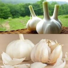 200pcs Giant Garlic Seeds Heirloom Organic Bulb Seed Easy Garden Vegetable Herb